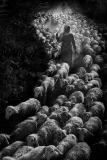 ABP CM-Hoang Long Ly-herding back bw-Viet Nam