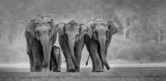 FIAP HM Ribbon-Gangadhar AG-PROTECTIVE ELEPHANT CALF-India