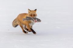 BPS CM-Juan Zas Espinosa-NAT_Japanish_fox_love_sushi-Spain