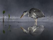 FIAP HM-Colin Bradshaw-Grey Heron in mist eating fish-United Kingdom