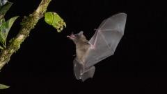 FIAP Silver-BARUN SINHA-Maxican Bat-India