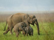 FIP Gold-Gangadhar AG-ELEPHANT FAMILY-India