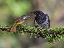 FIP HM -LING JYI CHAO-Oriental cuckoo brood parasite-Taiwan