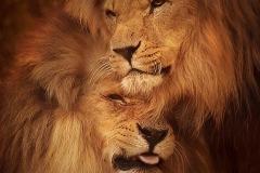 FIAP HM Ribbon-Gillian Steyn-Lions in Evening Light-United Kingdom